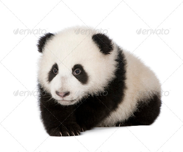 Giant Panda (6 months) - Stock Photo - Images