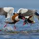 Common shelduck (Tadorna tadorna) - PhotoDune Item for Sale