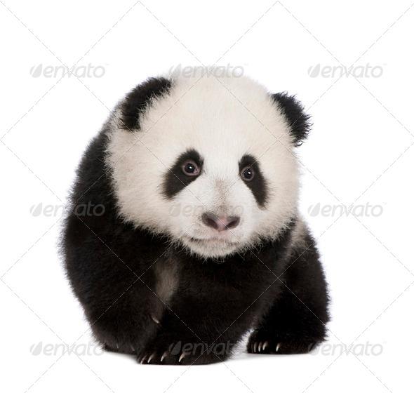 Giant Panda (4 months) - Ailuropoda melanoleuca - Stock Photo - Images