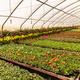 Glasshouse with pelargoniums - PhotoDune Item for Sale