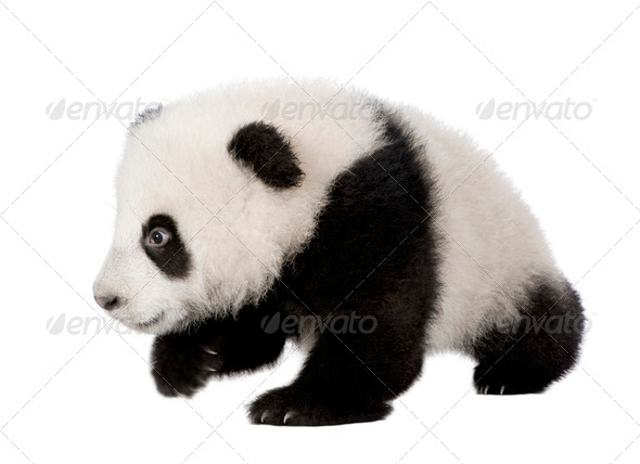 Giant Panda (4 months) - Ailuropoda melanoleuca - Stock Photo - Images