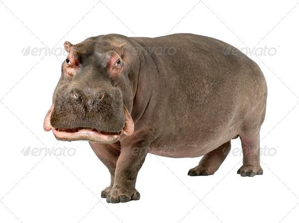 Hippopotamus - Hippopotamus amphibius ( 30 years) - Stock Photo - Images