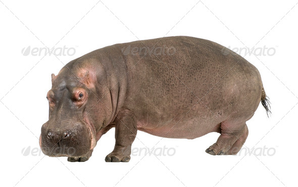 Hippopotamus - Hippopotamus amphibius ( 30 years) - Stock Photo - Images