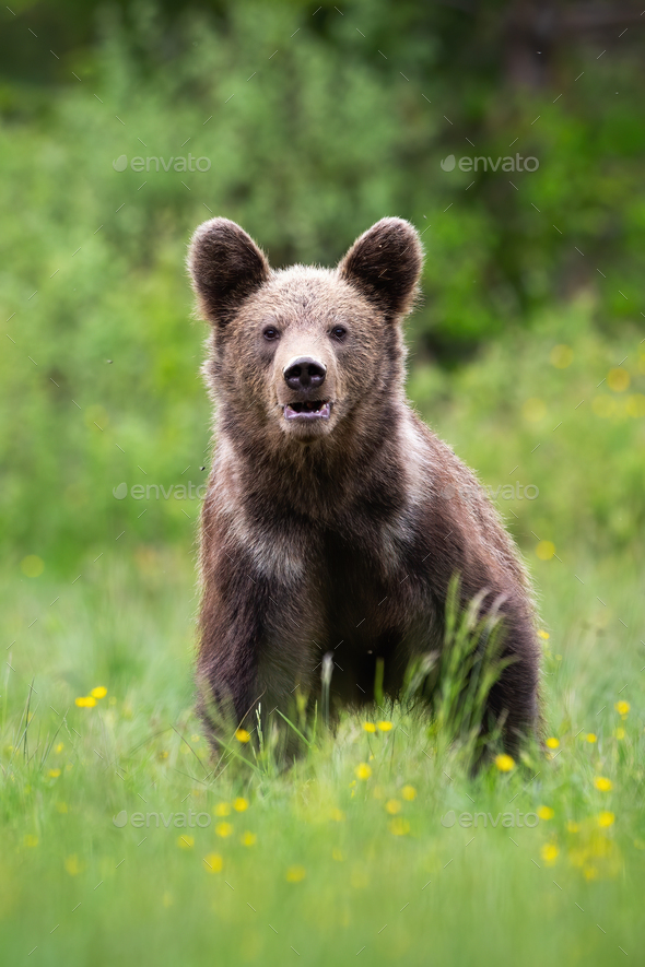 Brown bear looking to the camera on blossom meadow - Stock Photo - Images