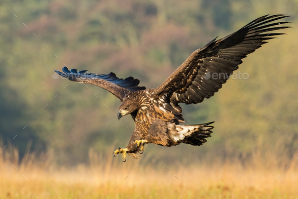 Juvenile sea eagle hunting in flight on a meadow in autumn nature - Stock Photo - Images