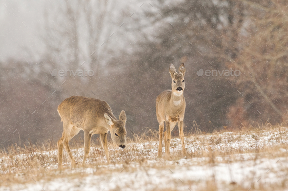 Group of roe deer on a pasture covered with white snow - Stock Photo - Images