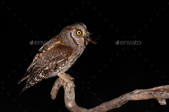Eurasian scops owl perched on branch and feeling itself with brown bush-cricket - Stock Photo - Images