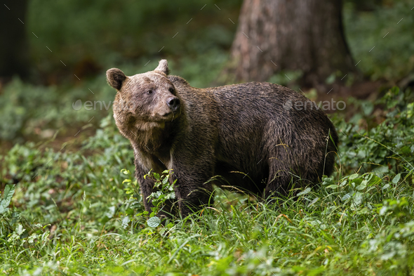 Brown bear standing in woodland in summertime nature - Stock Photo - Images