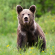Brown bear looking to the camera on blossom meadow - PhotoDune Item for Sale