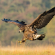 Juvenile sea eagle hunting in flight on a meadow in autumn nature - PhotoDune Item for Sale