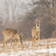 Group of roe deer on a pasture covered with white snow - PhotoDune Item for Sale