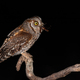 Eurasian scops owl perched on branch and feeling itself with brown bush-cricket - PhotoDune Item for Sale