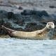 Harbor seal looking on stones next to sea in Iceland - PhotoDune Item for Sale