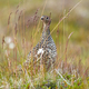 Rock ptarmigan resting on field in Iceland nature - PhotoDune Item for Sale