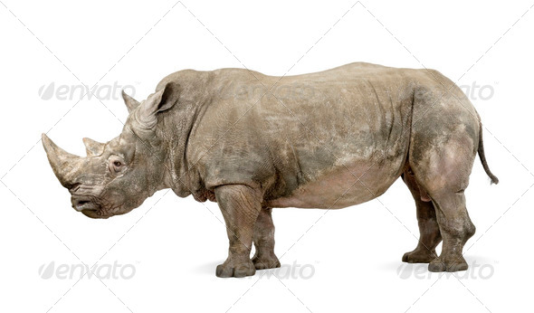 White Rhinoceros - Ceratotherium simum ( +/- 10 years) - Stock Photo - Images