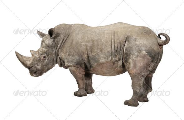 White Rhinoceros - Ceratotherium simum ( +/- 10 years) - Stock Photo - Images