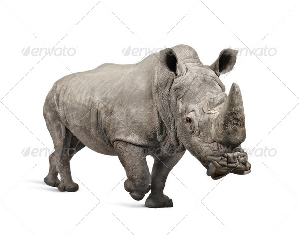 White Rhinoceros charging - Ceratotherium simum ( +/- 10 years) - Stock Photo - Images