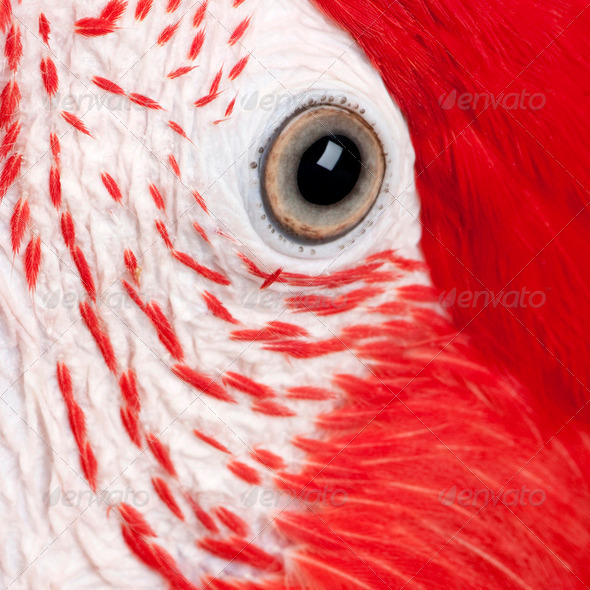 Green-winged Macaw - Ara chloropterus (18 months) - Stock Photo - Images