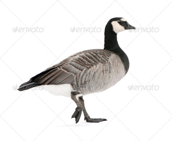 Mixed-Breed goose between Canada Goose and Barnacle Goose  (+/- - Stock Photo - Images