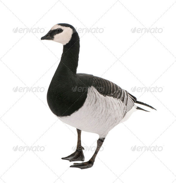 Barnacle Goose - Branta leucopsis (+/- 18 mlonths) - Stock Photo - Images
