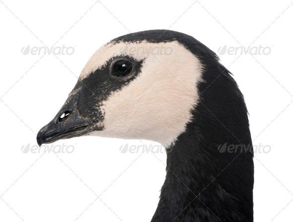 Barnacle Goose - Branta leucopsis (+/- 18 mlonths) - Stock Photo - Images