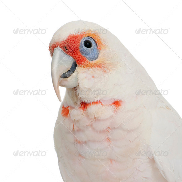Long-billed Corella - Cacatua tenuirostris - Stock Photo - Images