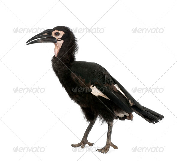 Young Southern Ground-hornbill - Bucorvus leadbeateri (18 months - Stock Photo - Images