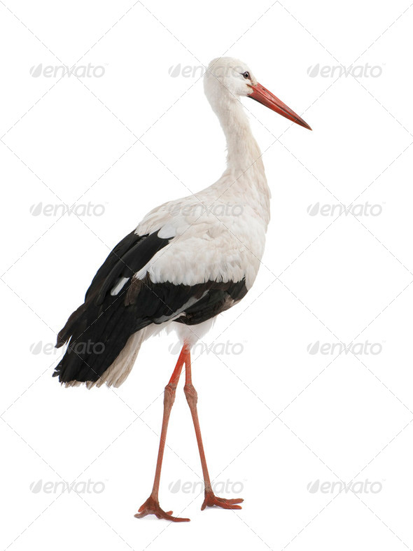 White Stork - Ciconia ciconia (18 months) - Stock Photo - Images