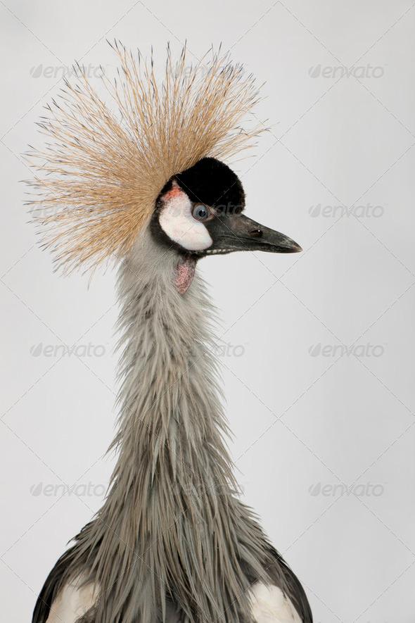 Grey Crowned Crane - Balearica regulorum (18 months) - Stock Photo - Images