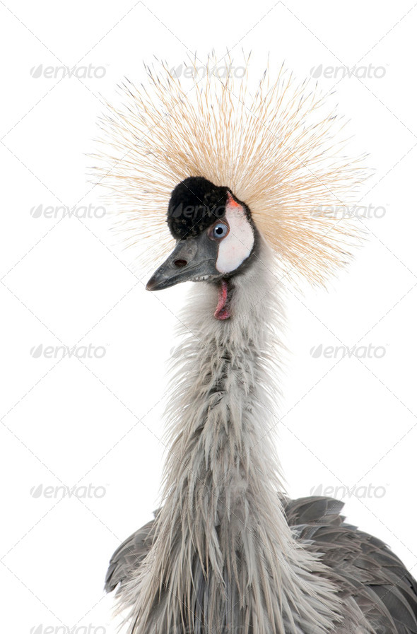 Grey Crowned Crane - Balearica regulorum (18 months) - Stock Photo - Images