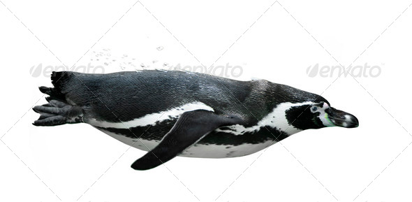 penguin swimming - Stock Photo - Images