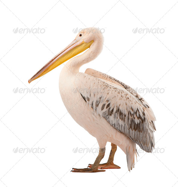 White Pelican - Pelecanus onocrotalus (18 months) - Stock Photo - Images