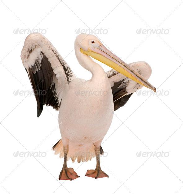 White Pelican - Pelecanus onocrotalus (18 months) - Stock Photo - Images