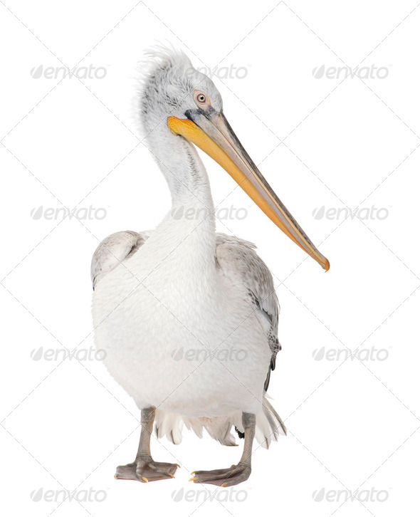 Dalmatian Pelican - Pelecanus crispus(18 months) - Stock Photo - Images