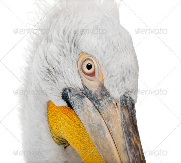 Dalmatian Pelican - Pelecanus crispus(18 months) - Stock Photo - Images