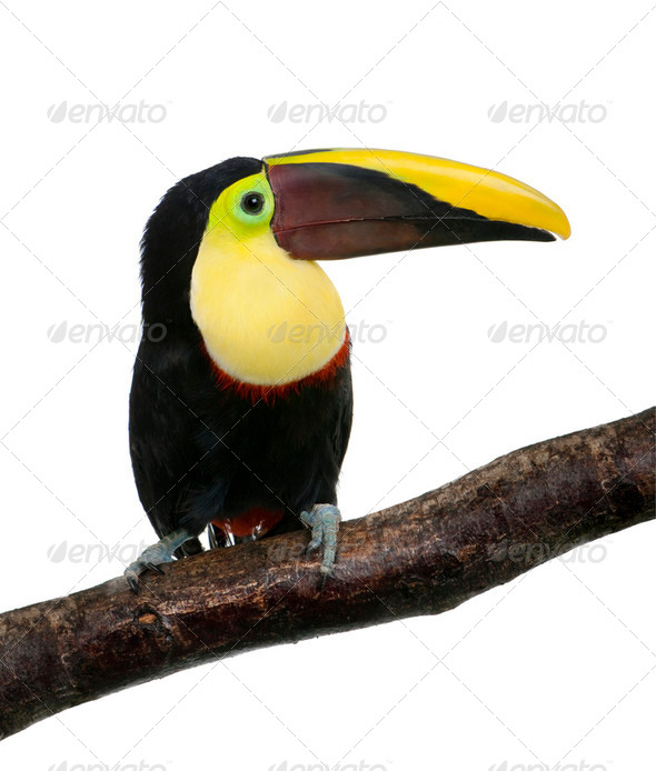 Chestnut-mandibled Toucan - Ramphastos swainsonii (3 years) - Stock Photo - Images