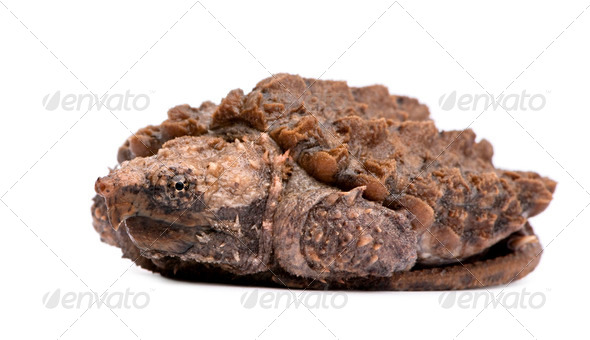 Young Alligator Snapping Turtle - Macrochelys temminckii - Stock Photo - Images