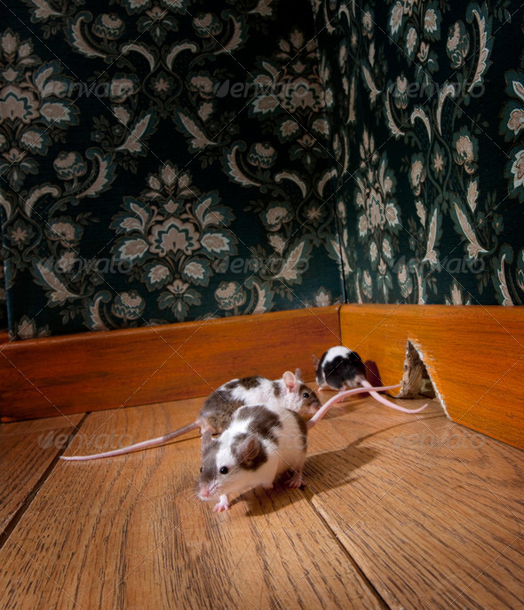 group of mice walking in a luxury old-fashioned room - Stock Photo - Images
