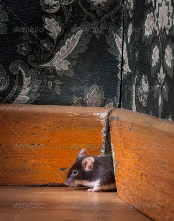 mouse getting out ot her hole in a luxury old-fashioned roon - Stock Photo - Images