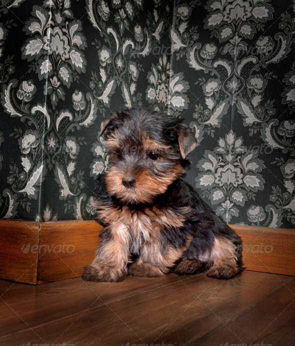 puppuy yorkshire terrier in a retro room - Stock Photo - Images