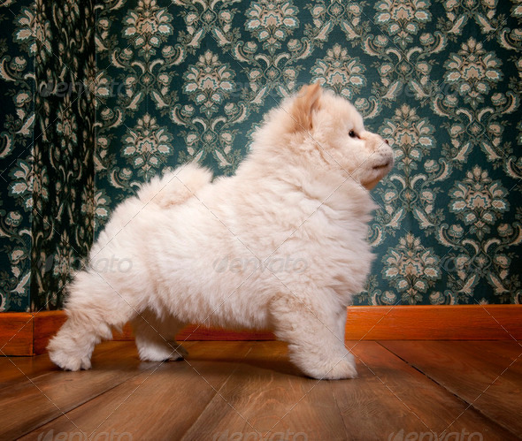 young Chow-chow in a retro room - Stock Photo - Images