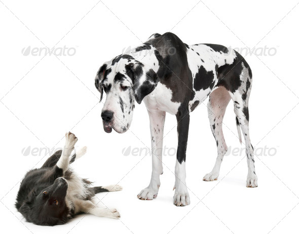 harlequin Great Dane (4 years)  looking down at a - Stock Photo - Images