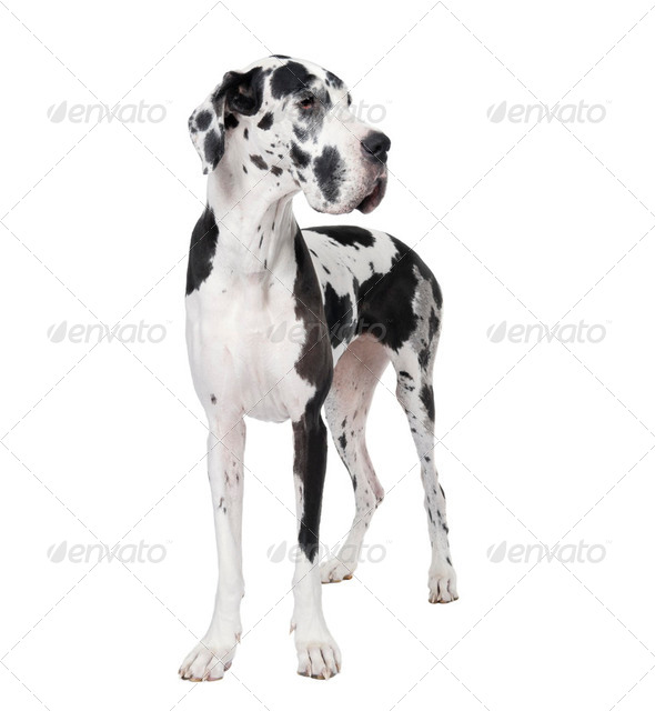 Great Dane (4years) - Stock Photo - Images