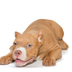 Small, funny American bully puppy lying - PhotoDune Item for Sale