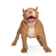 Small, funny American Bully puppy stands - PhotoDune Item for Sale