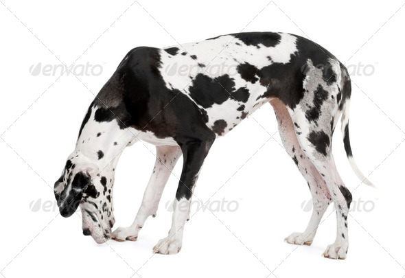 harlequin Great Dane (4 years) - Stock Photo - Images