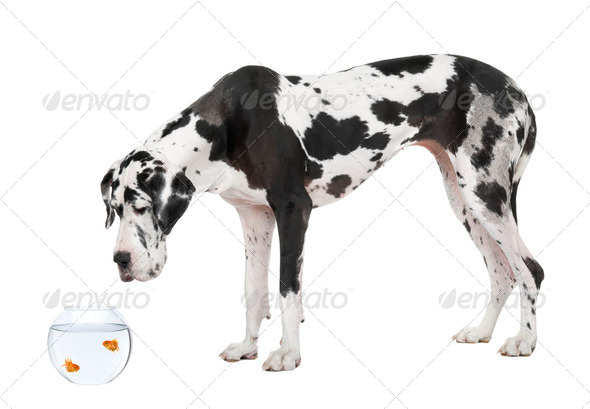 Great Dane looking at goldfish in fish bowl in front of white background, studio shot - Stock Photo - Images