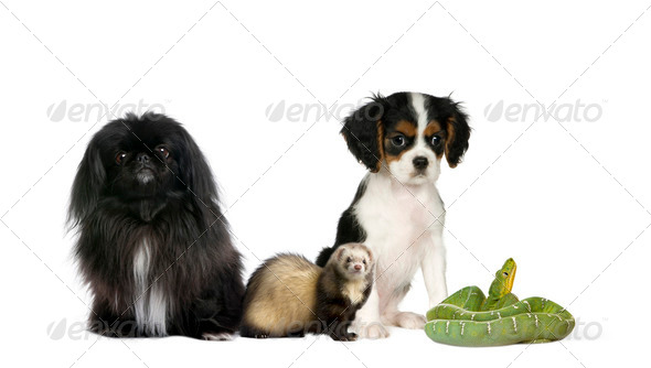 Portrait of dogs, ferret, and green snake in front of white background, studio shot - Stock Photo - Images