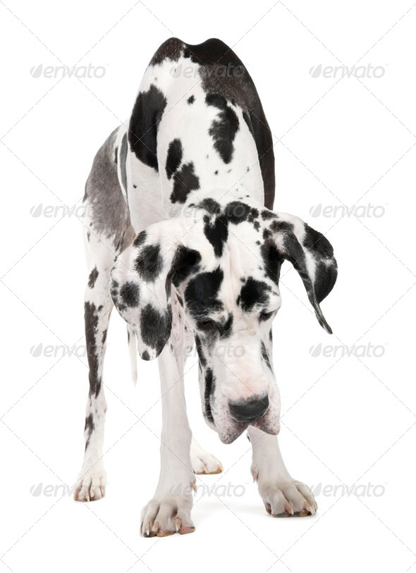 Great Dane (4 years old) - Stock Photo - Images