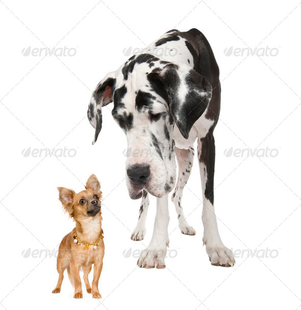 harlequin Great Dane (4 years)  looking down at a a  small chihuahua  (18 months) - Stock Photo - Images